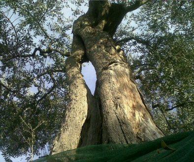 olivo gigante
