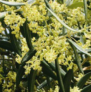 I fiori degli olivi che iniziano a schiudersi, inizia la fase dell'allegagione