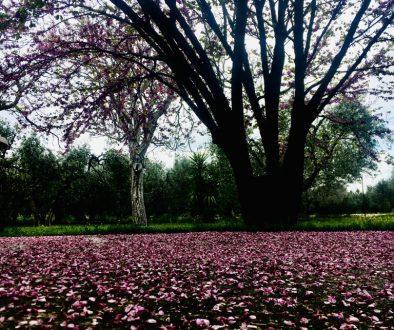 petali di cerci